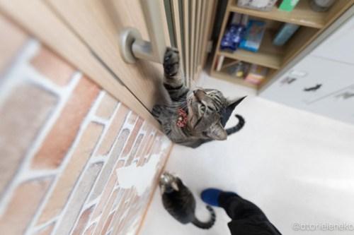 アトリエイエネコ Cat Photographer 38546515820_4761156cc0 1日1猫!猫カフェきぶん屋さんに行ってきました♪(3/3) 1日1猫!  里親様募集中 猫写真 猫 宝塚 子猫 大阪 写真 兵庫 保護猫カフェ 保護猫 スマホ キジ カメラ きぶん屋 Kitten Cute cat