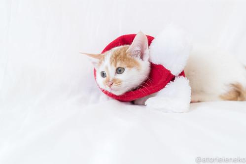 アトリエイエネコ Cat Photographer 27312899319_6112fce53a 1日1猫!里親様募集中のミルクちゃんです♪♪ 1日1猫!  里親様募集中 猫写真 猫 子猫 大阪 写真 保護猫 スマホ カメラ おおさかねこ倶楽部 cat