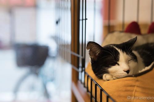 アトリエイエネコ Cat Photographer 25684793308_eefbcbf69b 1日1猫! 保護猫とカフェ 夕暮れ時のニャンとぴあ 1日1猫!  里親様募集中 猫 大阪 写真 保護猫 ニャンとぴあ Kitten Cute cat