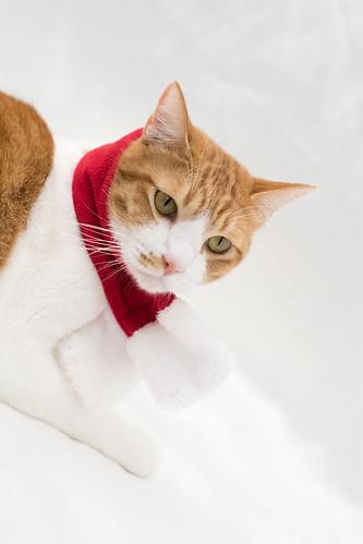 アトリエイエネコ Cat Photographer 38087207625_f3edf467d6 1日1猫! 保護猫カフェねこんチ うっちゃん 1日1猫!  猫 保護猫カフェねこんチ 保護猫 cat
