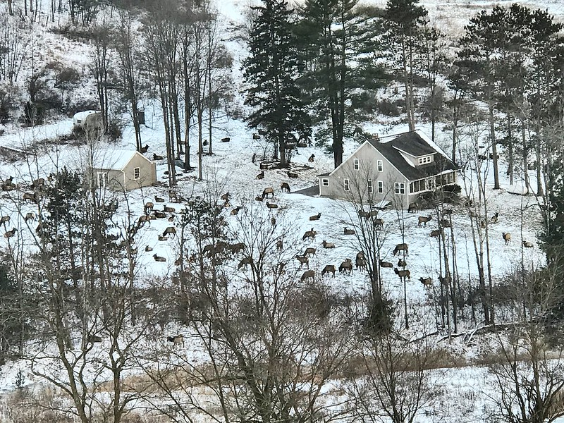 Elk herd in Pennsylvania