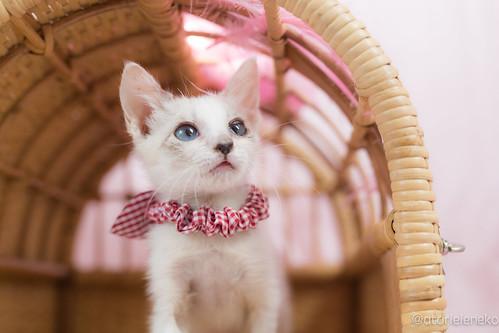 アトリエイエネコ Cat Photographer 39389674482_96fda087e4 1日1猫!高槻ねこのおうち 小雪ちゃん 1日1猫!  高槻ねこのおうち 猫写真 猫 子猫 写真 保護猫 スマホ カメラ cat