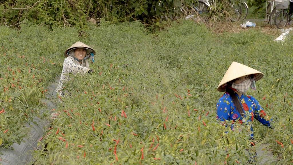 Vietnam Mekong delta chilli farm