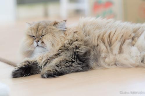 アトリエイエネコ Cat Photographer 25602255148_4e66964b2c 保護猫カフェ&猫ホテル ねこんチ