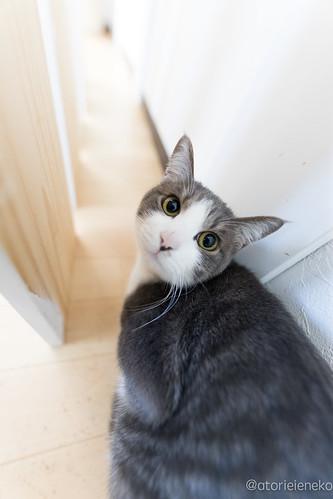 アトリエイエネコ Cat Photographer 38593837755_09f10301af 1日1猫!保護猫カフェねこんチ コロ助君とトライアルに旅たつメロンちゃん♬ 1日1猫!  猫 子猫 大阪 写真 保護猫カフェねこんチ 保護猫 カメラ cat