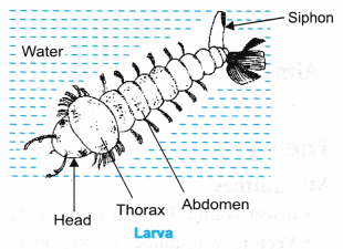 ncert-class-9-science-lab-manual-life-cycle-of-mosquito-3