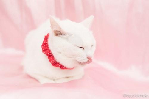 アトリエイエネコ Cat Photographer 40064089552_8fd51a9923 1日1猫!高槻ねこのおうち 里親様募集中のゆきちゃん♪ 1日1猫!  高槻ねこのおうち 里親様募集中 白猫 猫写真 猫 大阪 写真 保護猫 カメラ Kitten Cute cat