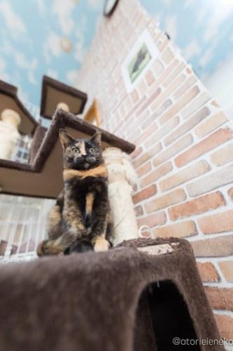 アトリエイエネコ Cat Photographer 38546528410_18a532d519 1日1猫!猫カフェきぶん屋さんに行ってきました♪(3/3) 1日1猫!  里親様募集中 猫写真 猫 宝塚 子猫 大阪 写真 兵庫 保護猫カフェ 保護猫 スマホ キジ カメラ きぶん屋 Kitten Cute cat