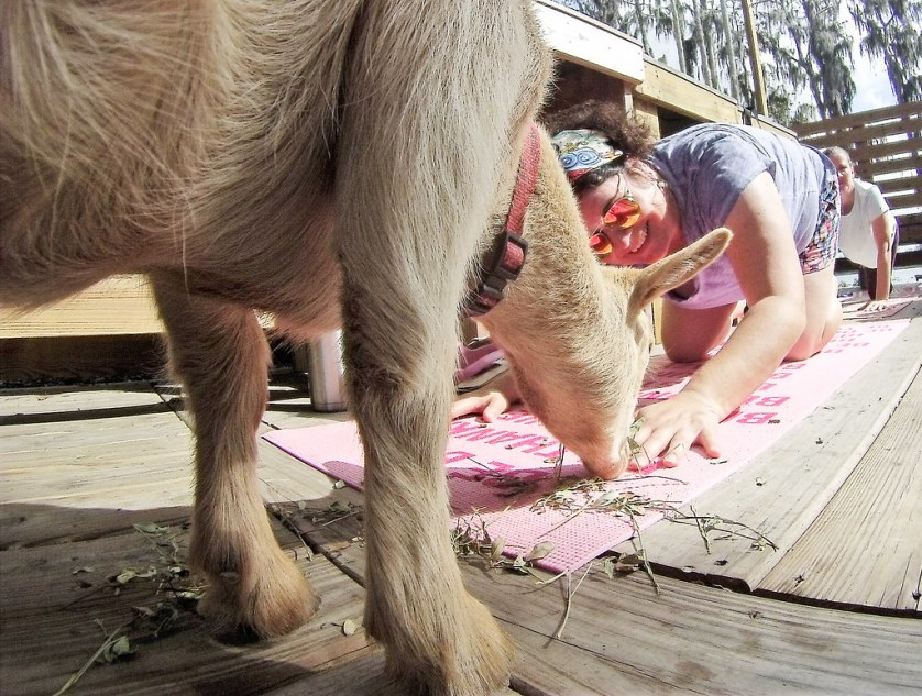 That's Me During Goat Yoga Tampa at In the Loop Brewing, Land O'Lakes, Fla., Feb. 11, 2018.