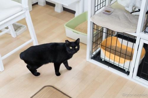 アトリエイエネコ Cat Photographer 38794463710_4230182226 1日1猫!保護猫カフェ&猫ホテルねこんチ新入りスタッフさん!ののちゃん♪ 1日1猫!  里親様募集中 猫写真 猫 子猫 大阪 写真 保護猫カフェねこんチ 保護猫カフェ 保護猫 スマホ カメラ Kitten Cute cat