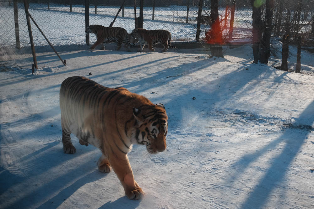 Siberian Tiger Park Harbin China-2