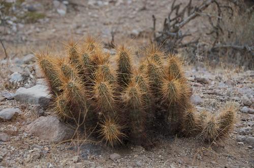 BGAFR -  desert cactus unknown