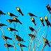Yellow-headed Blackbirds - IMG_2497