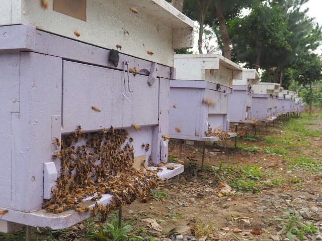 古坑三美養蜂 (9)
