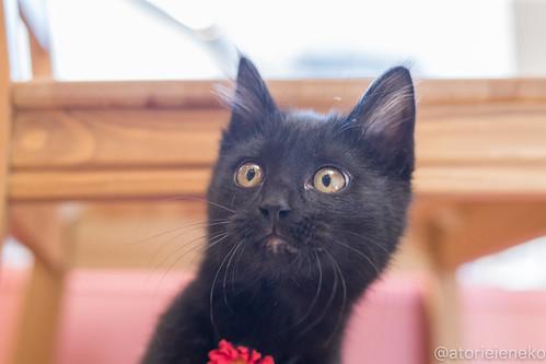 アトリエイエネコ Cat Photographer 38949534131_aebfaab1eb 1日1猫!はちお君のトライアル決定♬ 1日1猫!  里親様募集中 猫 子猫 大阪 cat