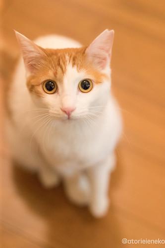 アトリエイエネコ Cat Photographer 25666154218_322662a700 1日1猫!保護猫カフェみーちゃ・みーちょさんに行ってきました。 その2 1日1猫!
