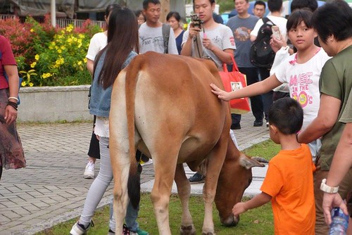 昂坪遊客迫爆 垃圾圍城 牛群沉迷食垃圾   大嶼山愛護水牛協會   香港獨立媒體網