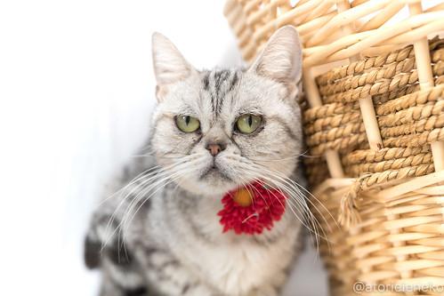アトリエイエネコ Cat Photographer 38225769725_9902a75767 1日1猫! 高槻ねこのおうち アンジーちゃん 1日1猫!  猫 保護猫 cat