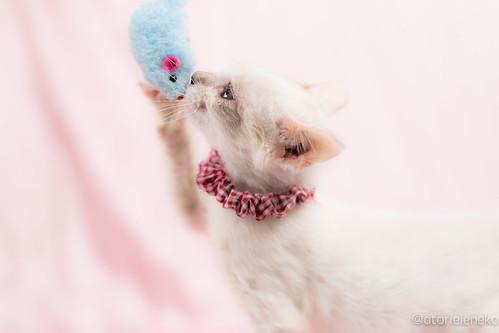 アトリエイエネコ Cat Photographer 25549668268_9159c81bd0 1日1猫!高槻ねこのおうち 小雪ちゃん 1日1猫!  高槻ねこのおうち 猫写真 猫 子猫 写真 保護猫 スマホ カメラ cat