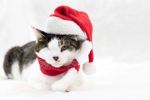 アトリエイエネコ Cat Photographer 38257880334_380d17f2a0 1日1猫!保護猫カフェねこんチ 1日1猫!  猫 保護猫カフェねこんチ 保護猫 cat