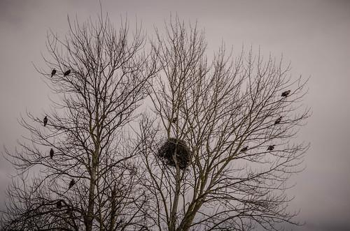Eagles in Skagit Valley-020