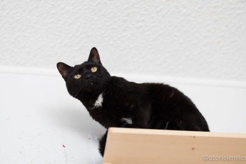 アトリエイエネコ Cat Photographer 38538267050_6b3be62f5e 1日1猫!高槻ねこのおうち 里親様募集中のボスくん♪ 1日1猫!  黒猫 高槻ねこのおうち 里親様募集中 猫写真 猫 子猫 大阪 写真 保護猫 Kitten Cute cat