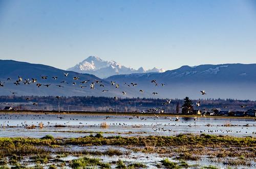 Skagit Morning Birds-10