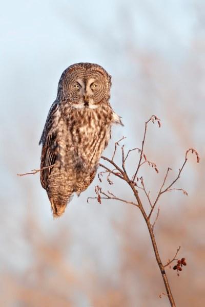 Great Gray Owl