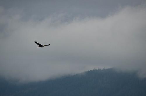 Eagles in Skagit Valley-006