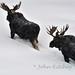 Bull Moose in Deep Snow