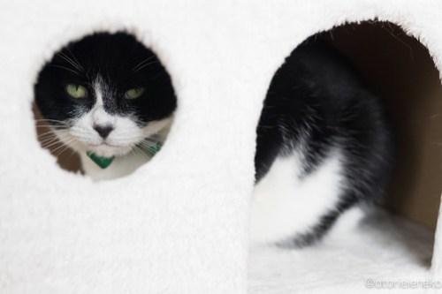 アトリエイエネコ Cat Photographer 40076131451_9e0afbc95a 1日1猫!保護猫カフェねこんチ クロちゃん カメラが怖い♪ 1日1猫!  猫写真 猫 大阪 写真 保護猫カフェねこんチ 保護猫カフェ 保護猫 Kitten Cute cat