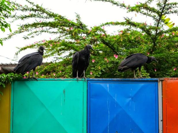 Aves en puerto Viejo