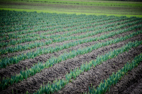 Daffodil Fields-001