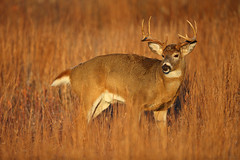 A Memory Card Warning and a Big Buck in Early Morning Sunlight, Shenandoah National Park