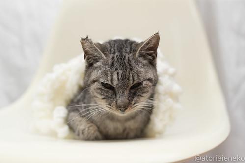アトリエイエネコ Cat Photographer 27906675819_92548d7d31 1日1猫!高槻ねこのおうち 里親募集中のミー助君♪ 1日1猫!  高槻ねこのおうち 里親様募集中 猫写真 猫 子猫 大阪 写真 保護猫 スマホ カメラ Lightroom Kitten Cute cat