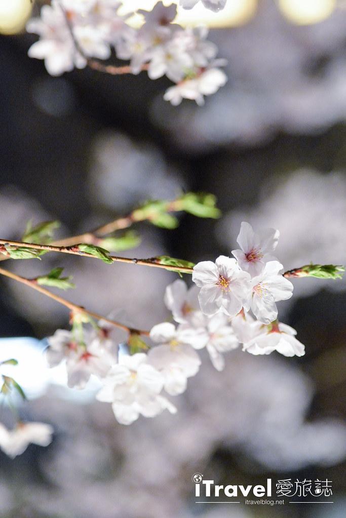 京都赏樱景点 祇园白川 (7)