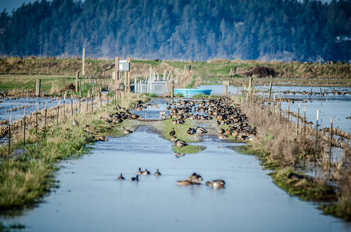 Skagit Morning Birds-24