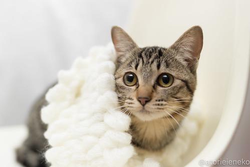 アトリエイエネコ Cat Photographer 24816295617_8696d1905a 1日1猫!高槻ねこのおうち りぼんちゃん♪ 1日1猫!  高槻ねこのおうち 里親様募集中 猫写真 猫 子猫 大阪 写真 保護猫 マフラー スマホ キジ カメラ Kitten Cute cat