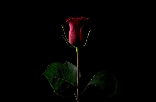 rose-2018