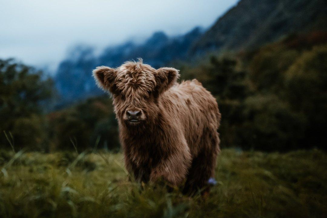 Highland cow in Switzerland