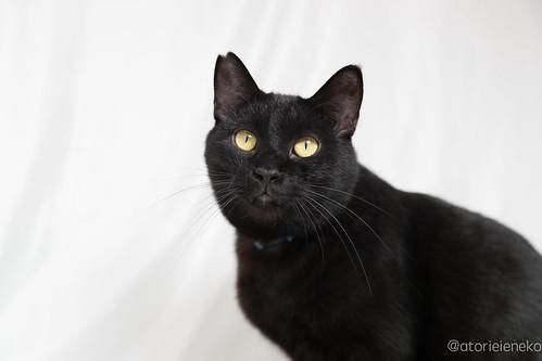 アトリエイエネコ Cat Photographer 38550147924_ae7dfd7a02 黒猫を黒く撮影する必要はありません。 里親募集のための写真術  里親様募集中 猫写真 猫 子猫 大阪 初心者 写真 保護猫 スマホ カメラ Cute cat