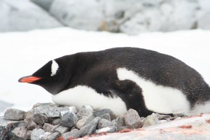 Gentoo penguin - Port Lockroy - Antarctica