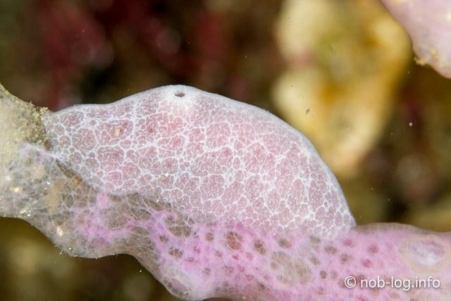 ムラサキアミメウミウシ