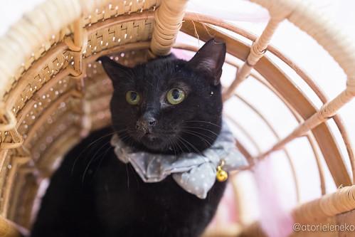 アトリエイエネコ Cat Photographer 24553426797_87185e5f68 1日1猫!高槻ねこのおうち 里親様募集中のねこたにさんです♬ 1日1猫!  高槻ねこのおうち 猫写真 猫 子猫 大阪 写真 保護猫 スマホ カメラ cat
