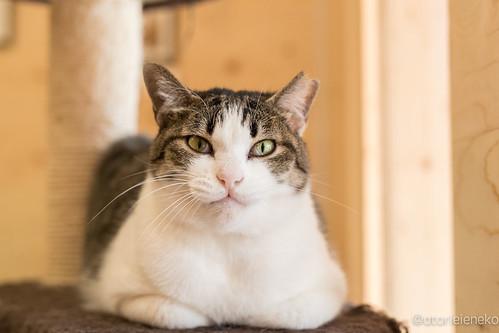 アトリエイエネコ Cat Photographer 39240178961_5ea62f1474 1日1猫!保護猫とカフェニャンとぴあ 1日1猫!  里親様募集中 猫 保護猫 ニャンとぴあ cat