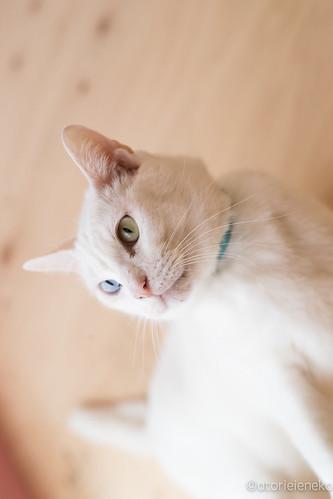 アトリエイエネコ Cat Photographer 39240192121_e036396e8b 1日1猫!里親様募集中のしお君です! 1日1猫!  里親様募集中 白猫 猫 大阪 保護猫 ニャンとぴあ cat