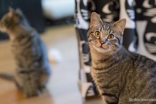 アトリエイエネコ Cat Photographer 38827937724_56d1844702 1日1猫! 猫カフェみーちゃ・みーちょに行ってきました!その1 1日1猫!  里親様募集中 猫写真 猫 子猫 大阪 写真 保護猫カフェ 保護猫 スマホ カメラ みーちゃ・みーちょ Kitten Cute cat