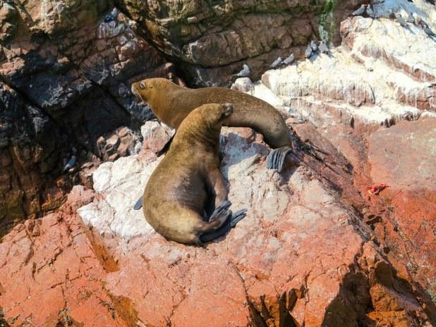 Lobos marinos en perú