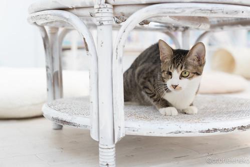 アトリエイエネコ Cat Photographer 39390497952_6f820178d8 NPO法人 東京キャットガーディアン