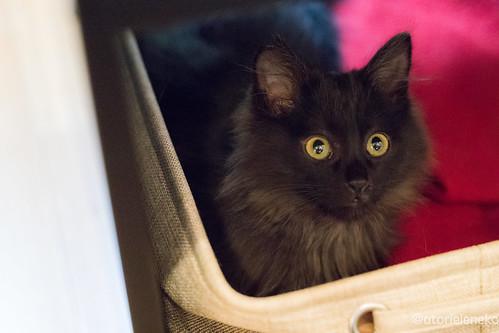 アトリエイエネコ Cat Photographer 38827939424_a27f5048a7 1日1猫! 猫カフェみーちゃ・みーちょに行ってきました!その1 1日1猫!  里親様募集中 猫写真 猫 子猫 大阪 写真 保護猫カフェ 保護猫 スマホ カメラ みーちゃ・みーちょ Kitten Cute cat
